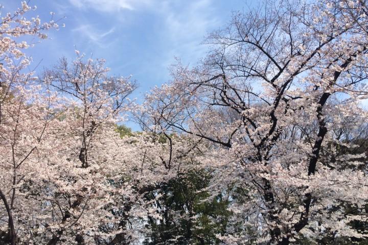 上野恩賜公園 櫻花