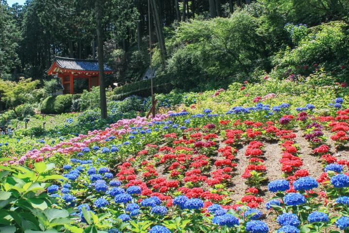 三室戶寺 繡球花